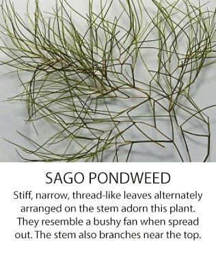 SagoPondweed