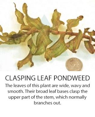 claspingleaf