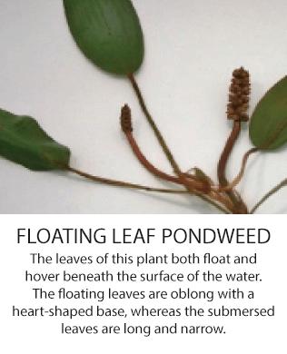 floatingleadpondweed